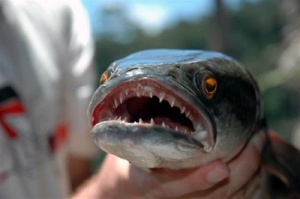 Snake Fish2