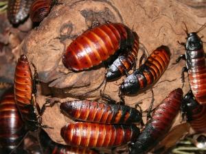 dezynsekcja, karaluchy, owady, insekty