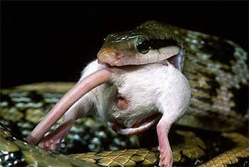 Snake Dave or Rat Boris? Nowt to Choose – Vote UKIP ... - photo#20