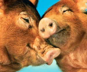 kissing_pigs