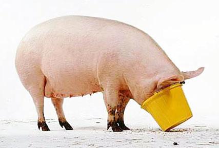 pig fatty