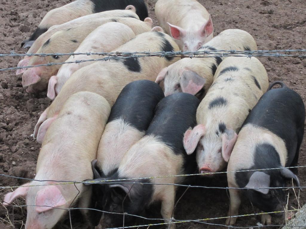 pigs stampede